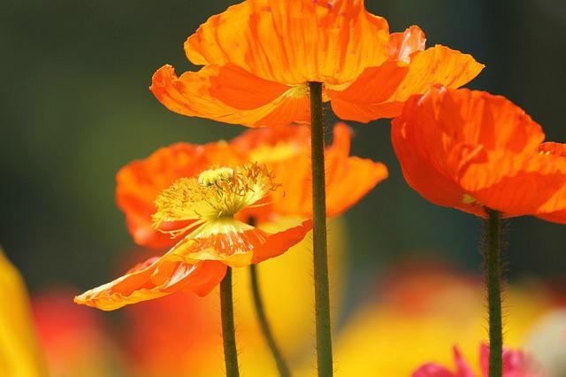 Free photo: Poppy Flowers, Poppies, Orange - Free Image on ...