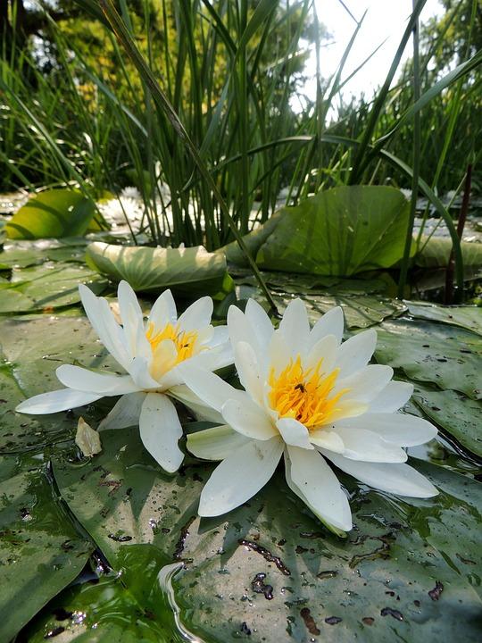 Air Bunga Lili Hijau Kolam Foto Gratis Di Pixabay