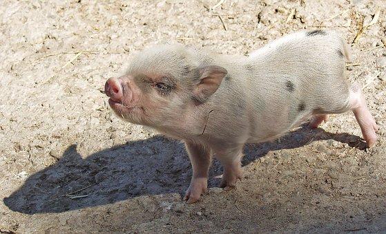 Торговые переговоры с Китаем привели к росту фьючерсов на свинину в США