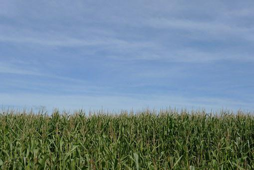 Crop, Corn, Maize, Sky, Empty, Blue