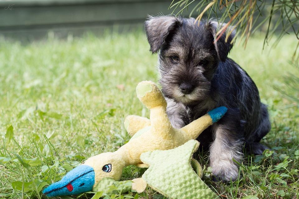 Schnauzer Dwerg Variant Kleine Hondsoorten
