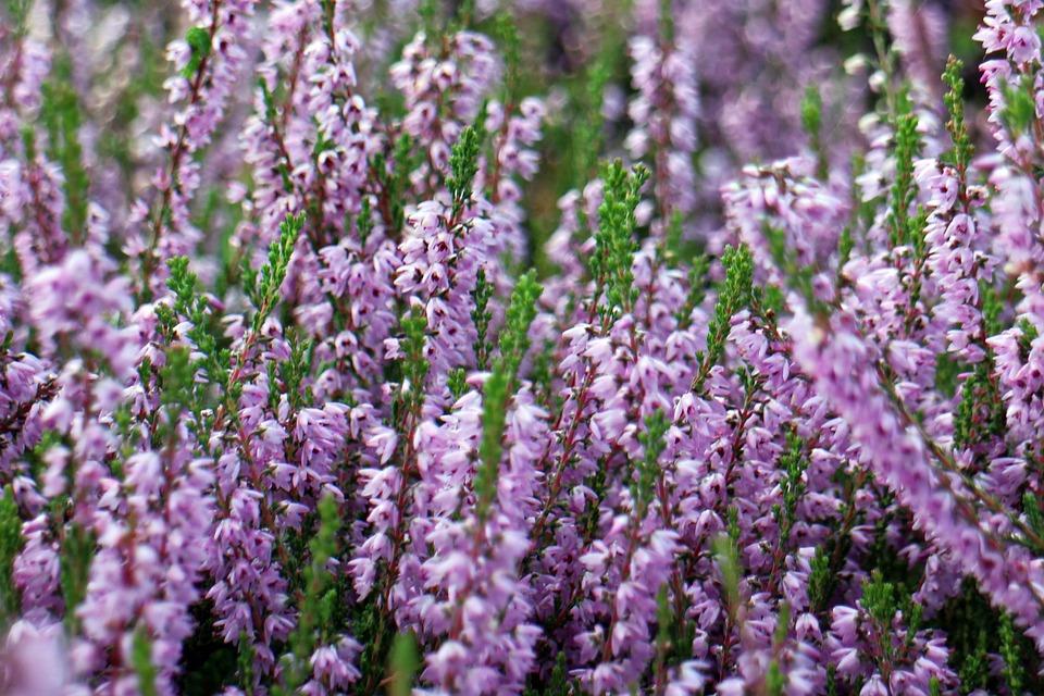 free photo heather erika flower bloom free image on pixabay 435818. Black Bedroom Furniture Sets. Home Design Ideas