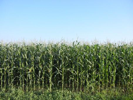 Corn, Rows, Plant, Agriculture, Green