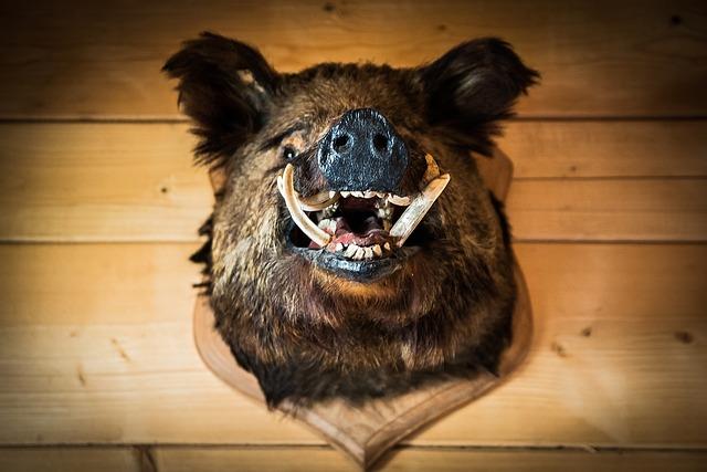 the head of boar wild  u00b7 free photo on pixabay