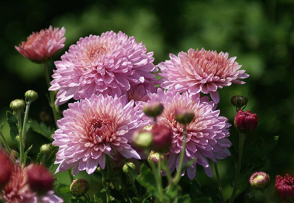Blumen im garten  Kostenloses Foto: Astra, Blumen, Garten, Rosa - Kostenloses Bild ...