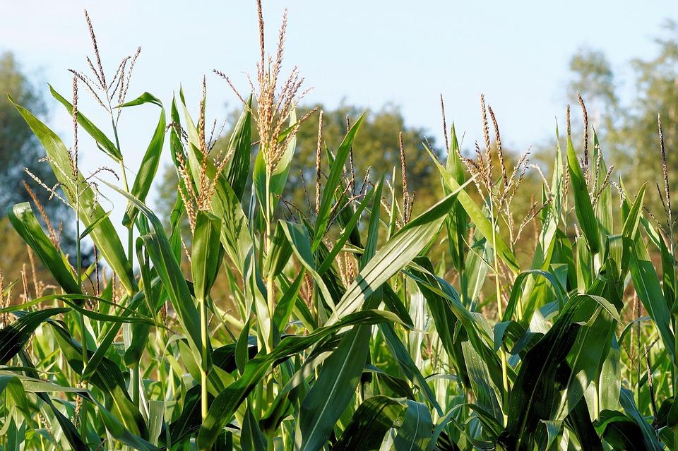 Corn, Cornfield, Plant, Fodder Plant, Bio Gas Plant