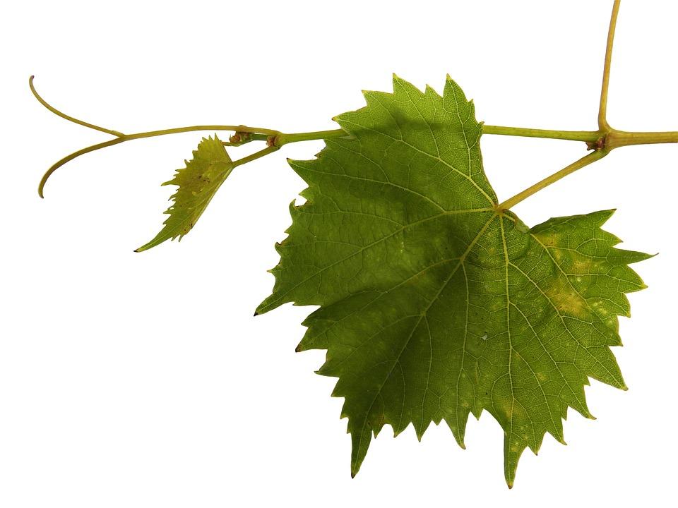 Виноградная Лоза, Лоза, Ранке, Вина, Вино Лист, Лист