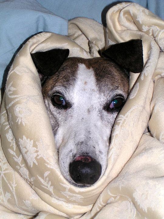 Cuándo un perro tiene fiebre