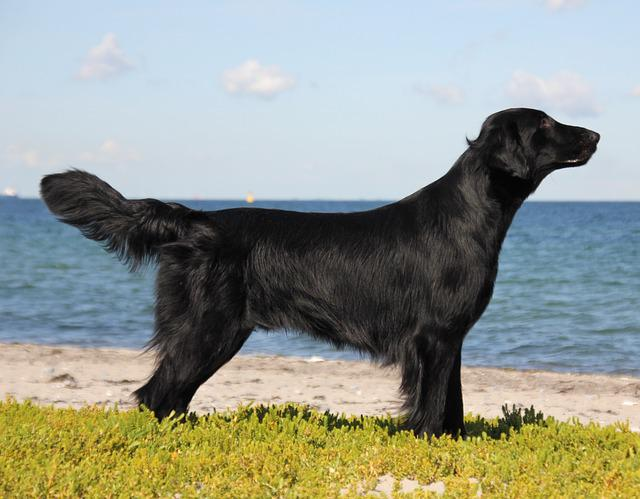 black coated retriever coloring pages - photo#32