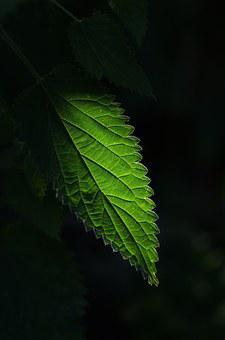 Nettle, Plant, Green, Leaf, Isolated