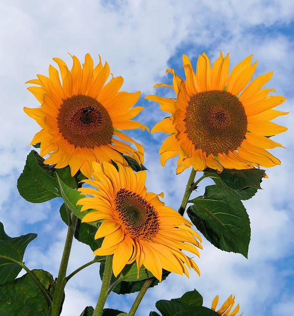 Free photo Sunflower Flowers Yellow Summer Free