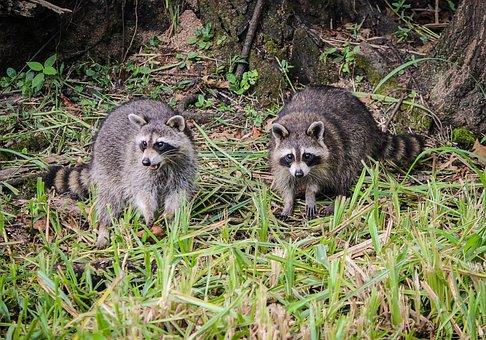 Raccoons, Coon, North American Raccoon