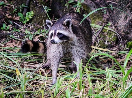 Raccoon, Coon, North American Raccoon