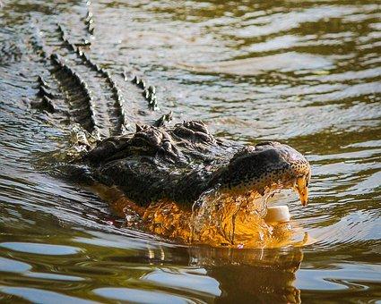 ワニ, アメリカアリゲーター, Gator, 危険, 攻撃, ルイジアナ州