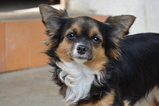 Chihuahua, Dog, Hairy, Chiwawa