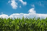 polu kukurydzy, błękitne niebo, wieś