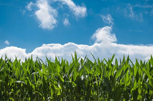 Corn Field, Blue Sky, Countryside