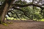 southern live oak, oak tree