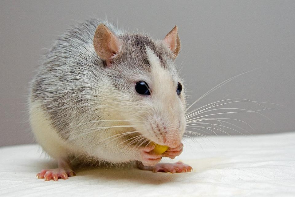 Rat, Huisdieren, Eten