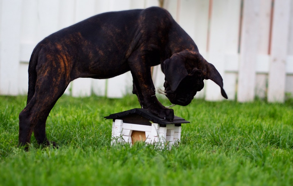 cane corso puppy playing