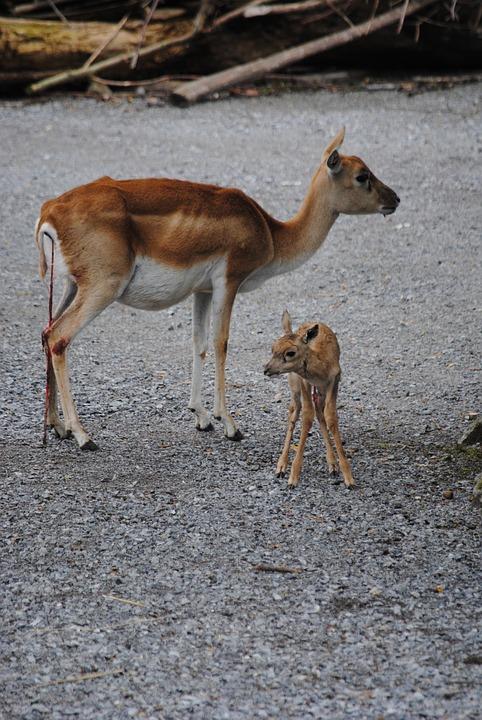 Gender Chart Of Animals: Free photo: Blackbuck Dam Young Animal Birth - Free Image on ,Chart