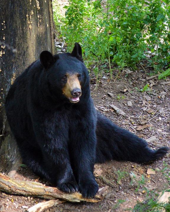 Free Photo American Black Bear Bear Sitting Free