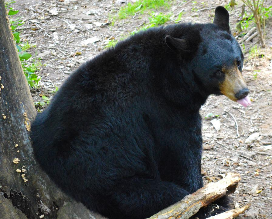 American Black Bear, Bear, Sitting, Mammal, Fur