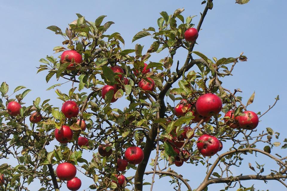 Foto gratis albero da frutto albero di mele immagine for Foto alberi da frutto