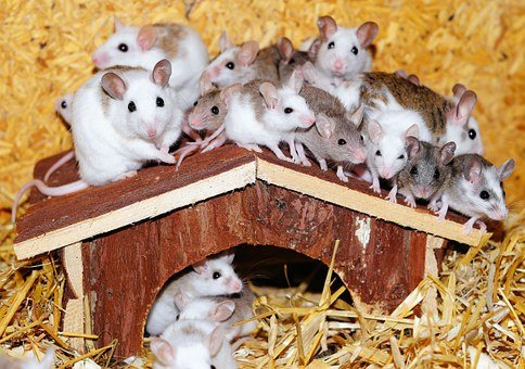 Mastomys, Mice, Home, Wood, Roof