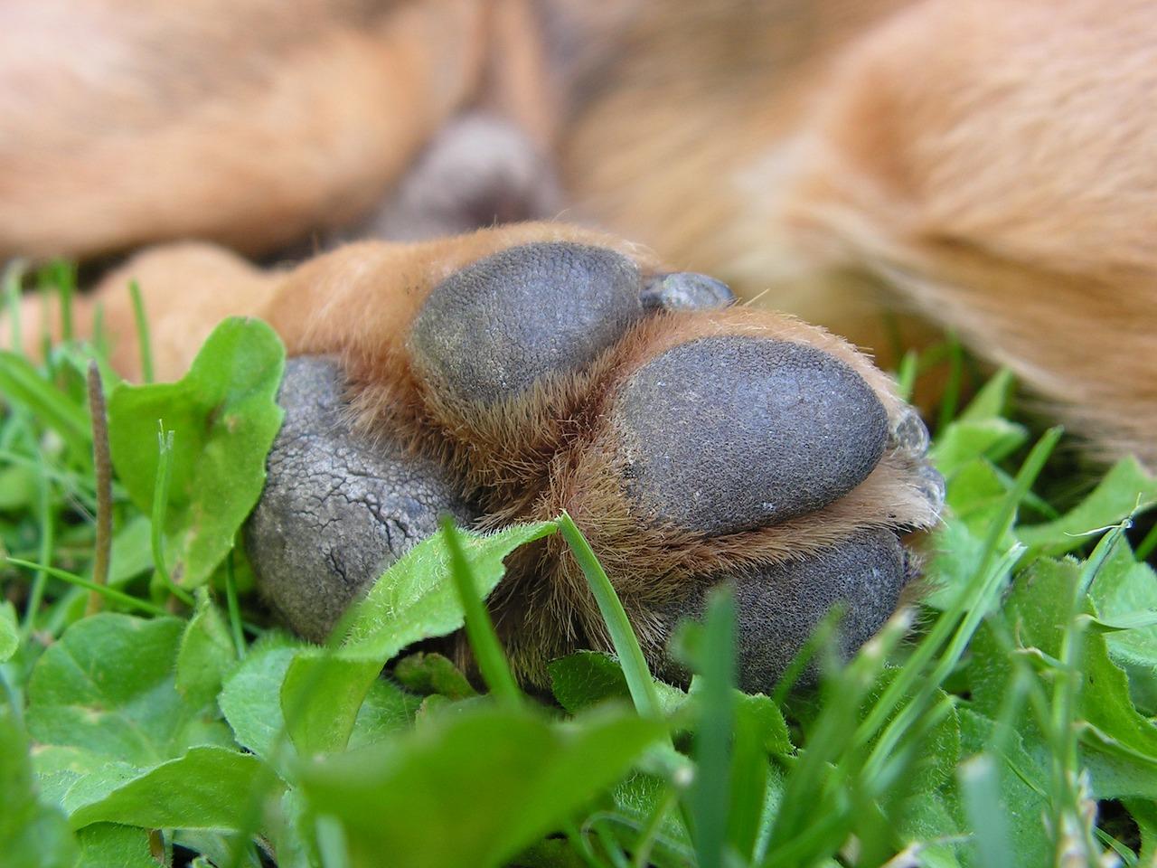 немецкая фото лапки собаки каким признакам