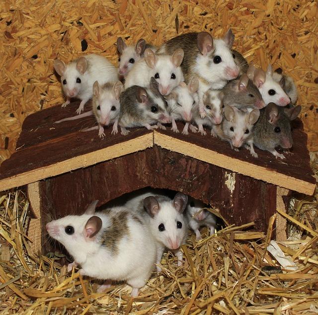 Free Photo Mastomys Mice Mouse Family Free Image On