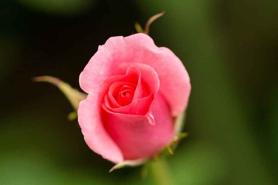 free photo rose, blossom, bloom, pink  free image on pixabay, Beautiful flower