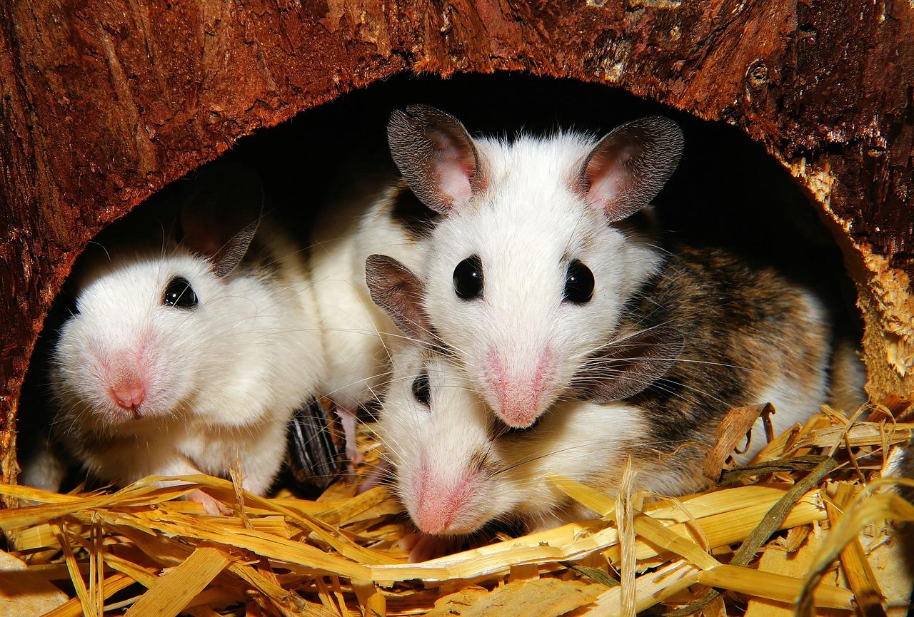 Cómo disuadir a las ratas