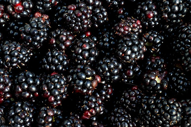 free photo  blackberry  berry  fruit  picking