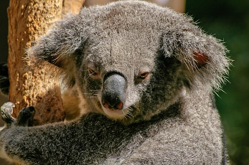 Koala, Bear, Marsupial, Grey, Furry