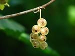 currants, berries, immature