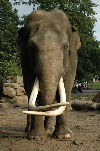 L phant tusk animal photo gratuite sur pixabay - Photos d elephants gratuites ...