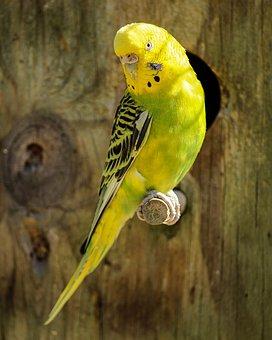 Parakeet Yellow Parakeet Green Parakeet Bi