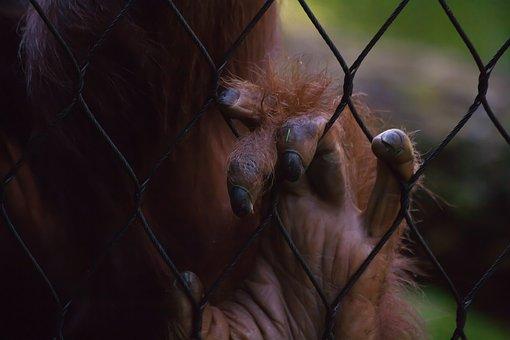 Ne ovat läheisempää sukua ihmisille kuin gorilloille.