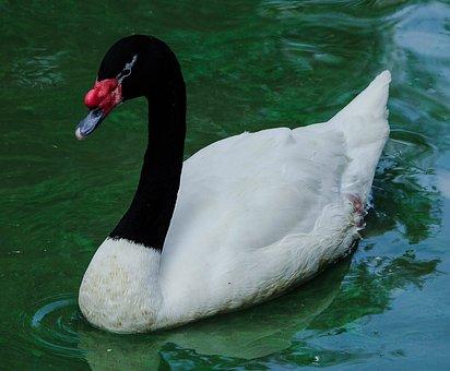 Swan, Cisne De Cuello Negro