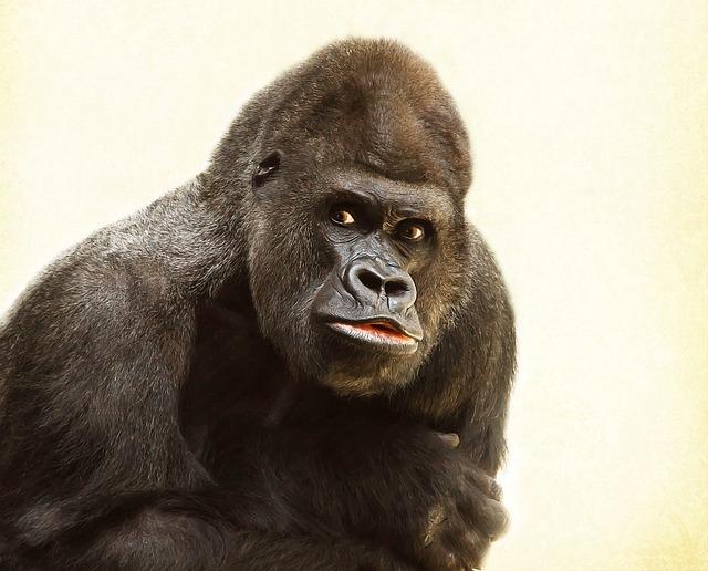 Photo Gratuite: Gorille, Silverback, Des Animaux