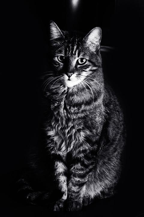 Super Photo gratuite: Chat, Animaux, Félin, Noir Blanc - Image gratuite  FC31