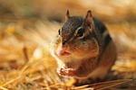 chipmunk, rodent, fall