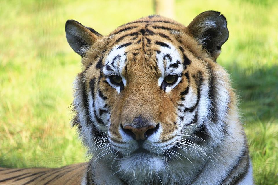 Tigre t te cat photo gratuite sur pixabay - Image tete de tigre ...