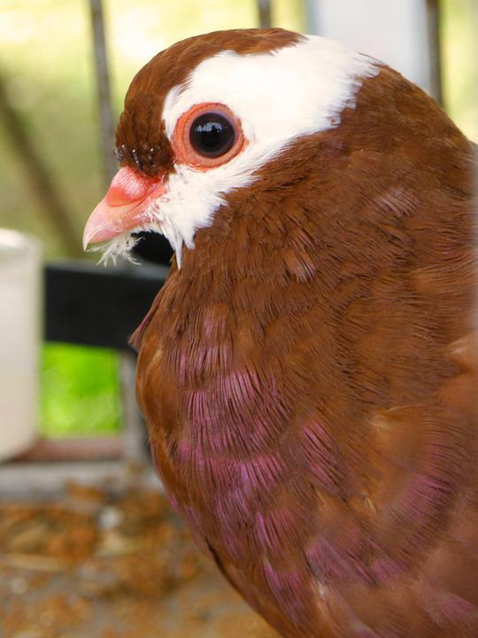 108  Gambar Burung Merpati Coklat  Paling Keren Gratis
