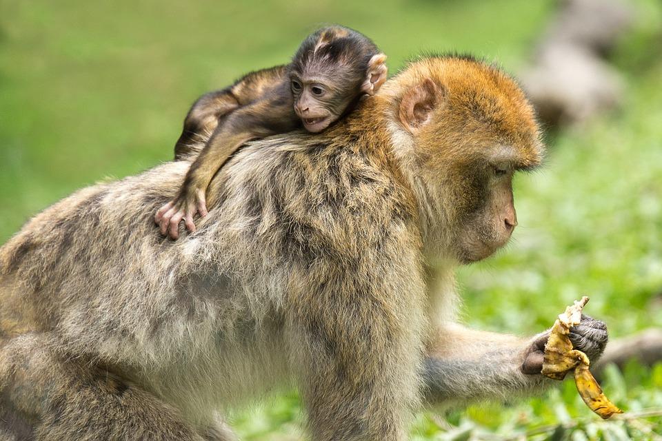 Macacos De Berbería, Monos, Madre E Hijo, Animales