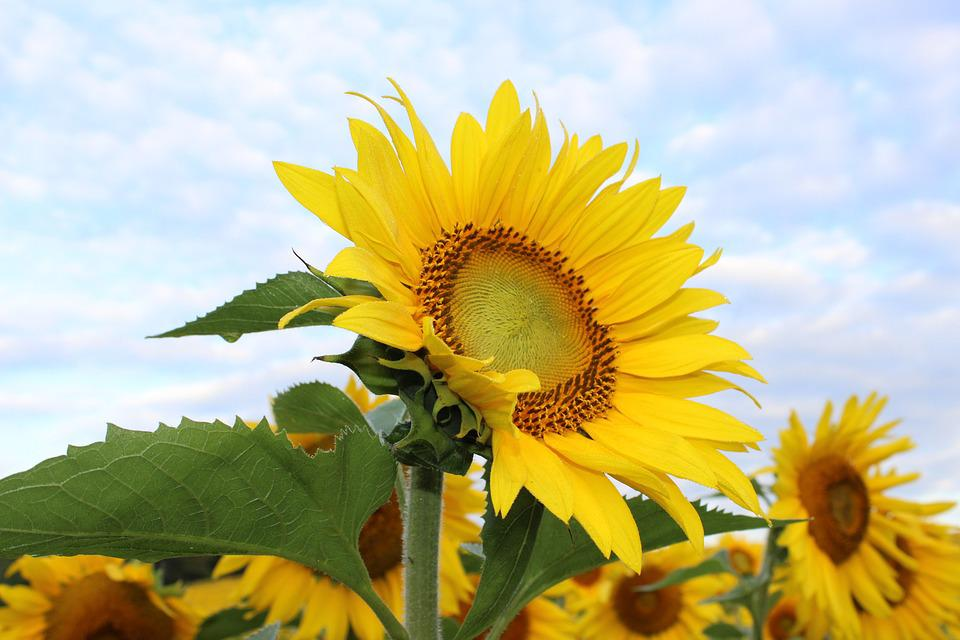 gratis 6 sunflowers massage