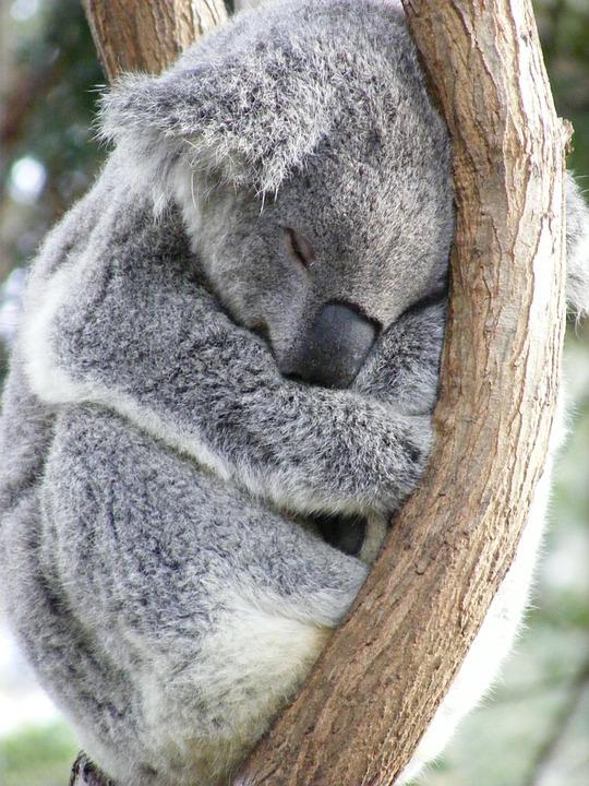koala bear essays