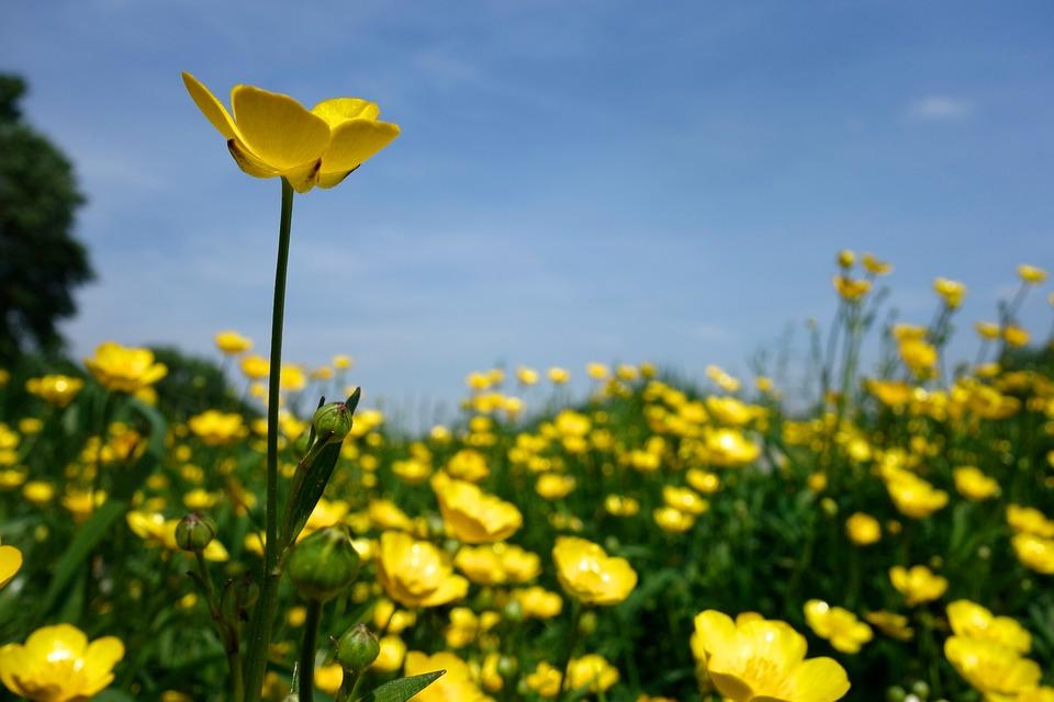 bouton d u0026 39 or fleur jaune sharp  u00b7 photo gratuite sur pixabay