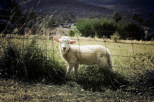 Lamb, Sheep, Farm, Animal, Countryside
